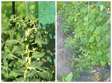 Tomaten Aufzucht Anbinden Möglichkeiten Stabtomate