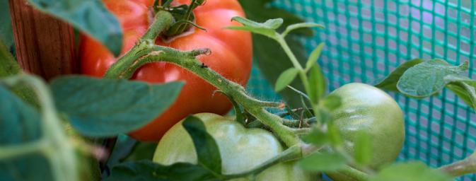 Tomaten Aufzucht Tipps Tricks