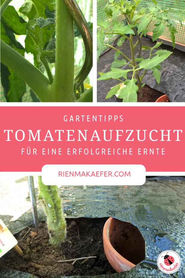 Tomaten Aufzucht Tipps und Pflege