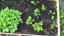 DIe Rote Beete gedeiht gut, von den Radieschen konnte ich schon einige ernten.