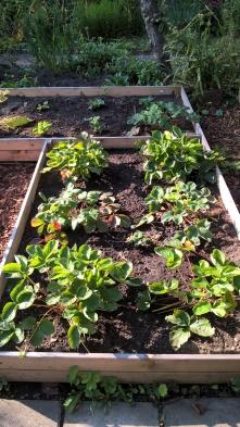 Erdbeeren Neupflanzung