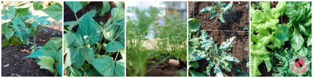 Es grünt so grün. Zwischen den Bohnen wächst eine kleine Tomate, die Möhren werden auch buschig und der Salat ebenso.