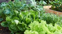 Mischkultur_Scarefoot_Gardening_B