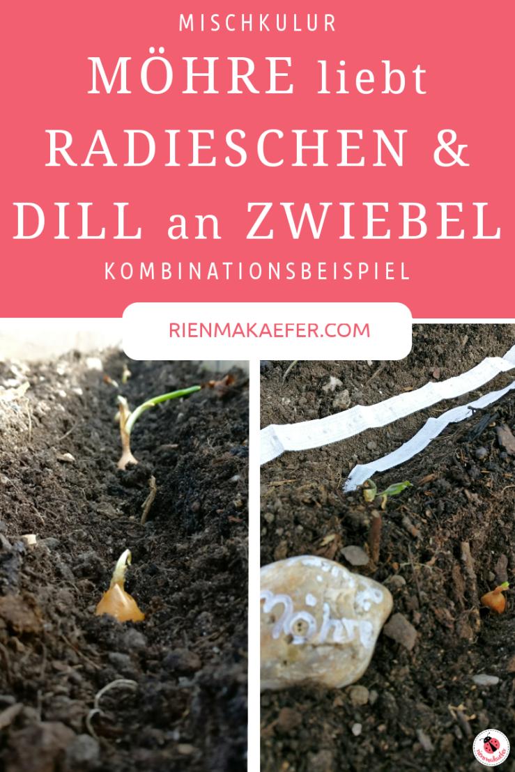 Mischkultur_Zwiebel_Möhre_Radieschen